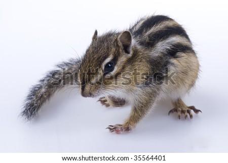 squirrel on white background - stock photo