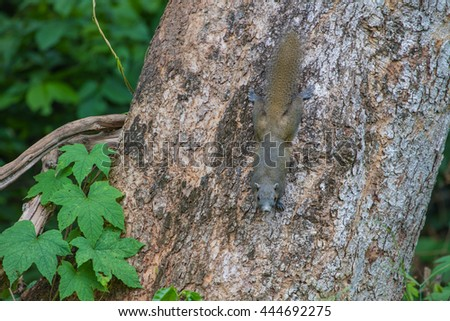 squirrel or small gong, Small mammals native to the tropical forests - stock photo