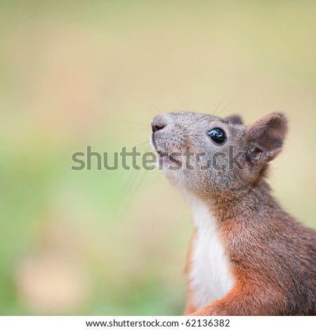 Squirrel portrait with a free space - stock photo