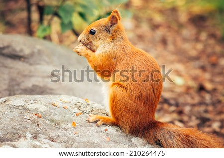 Squirrel red fur with nuts and summer forest on background wild nature animal thematic (Sciurus vulgaris, rodent)
