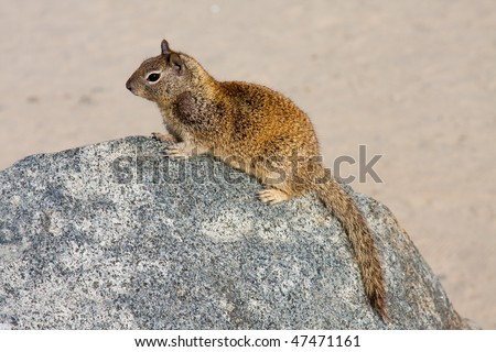 Squirrel Sitting On a Rock At The Beach.  Complete with Head & Tail.