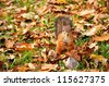 Squirrel sitting on the ground among dry leaves in the autumn park - stock photo
