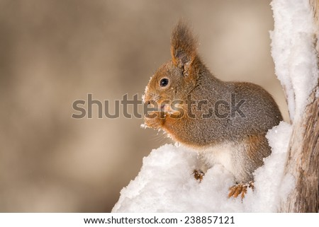 squirrel standing on her hind legs in snow on a tree stump