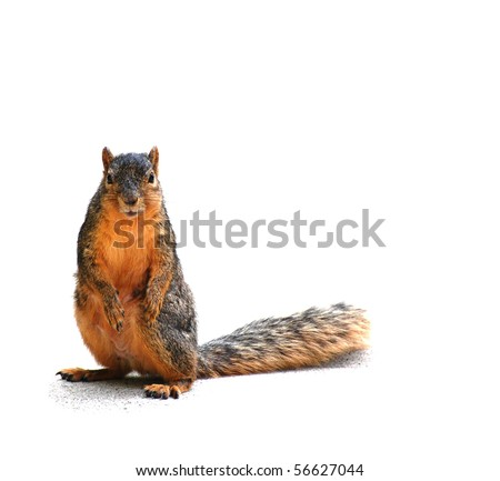 Squirrel staring at you, isolated on white, with shadow - stock photo