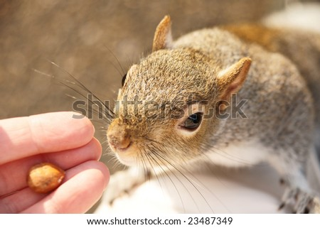 squirrel takes a nut from a hand - stock photo