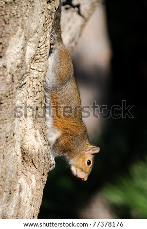 squirrel upside down clinging to a trunk