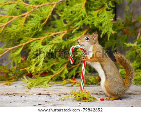 Squirrel who seems to be very happy to have found a candy cane on a rustic wood and cedar background with copy space.