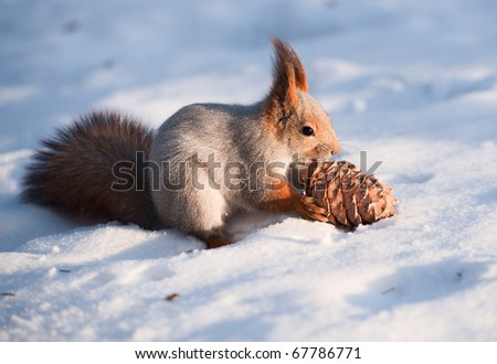 Squirrel with a cedar cone on the snow - stock photo