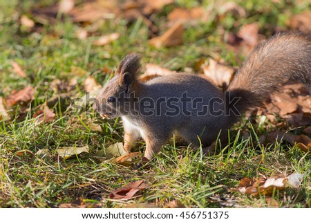 squirrel with a nut in his mouth in the fall - stock photo