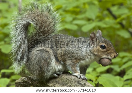 squirrel with acorn in mouth - stock photo