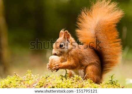 Squirrel with nut - stock photo