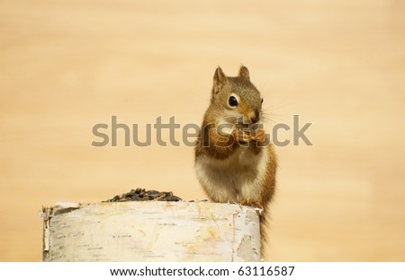 Squirrel  (young) on a birch log enjoying some sunflower seeds in the autumn with copy space.