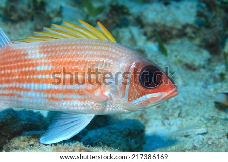 Squirrelfish (Holocentrus adscensionis) in the tropical coral reef of the caribbean sea  - stock photo