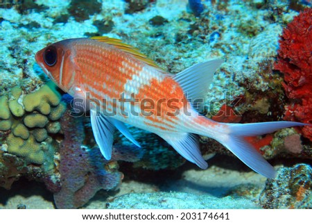 Squirrelfish (Holocentrus adscensionis) in the tropical coral reef of the caribbean sea (Mexico) - stock photo