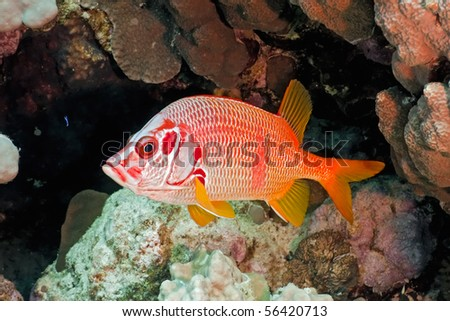 Squirrelfish on the coral fish - stock photo