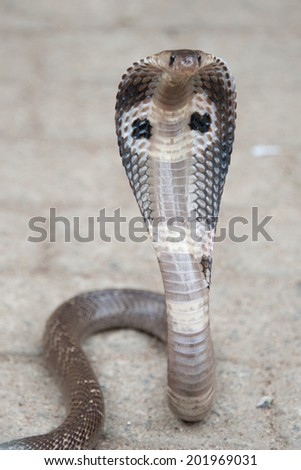 Sri Lanka, Cobra - stock photo