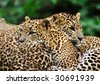 Sri Lanka Leopard (Panthera pardus kotiya) - stock photo