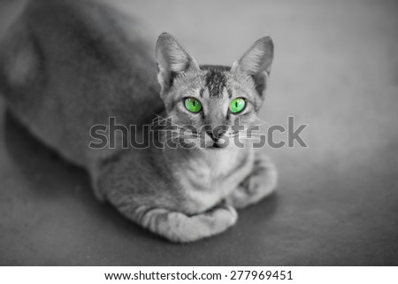 Sri lankan domesticated cat black and white background and colour eyes - stock photo