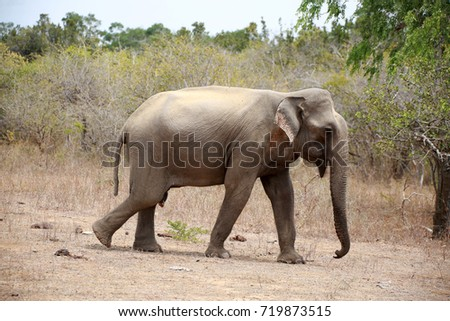 Sri Lankan Elephant / Asian elephant
