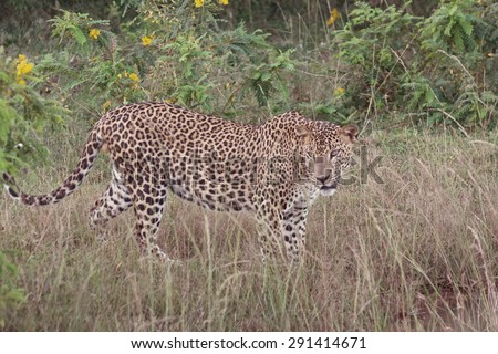 Sri Lankan Endemic Leopard - Panthera Pardus Kotiya. The Population Is Believed To Be Declining Due To Numerous Threats And No Sub population Is Larger Than 250 Individuals (With Instagram Effect)
