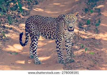 Sri Lankan Endemic Leopard - Panthera Pardus Kotiya. The population of Sri Lankan Leopard is believed to be declining due to threats and no subpopulation is larger than 250 (With Instagram Effect)