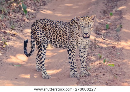 Sri Lankan Endemic Leopard - Panthera Pardus Kotiya. The population of Sri Lankan Leopard is believed to be declining due to threats and no subpopulation is larger than 250 (With Instagram Effect) - stock photo