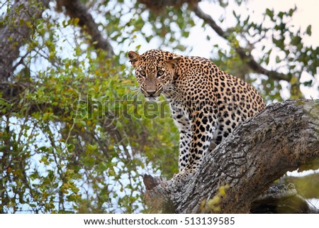 Sri Lankan leopard, Panthera pardus kotiya, big cat, predator native to Sri Lanka. Male staring directly at camera, sitting on a tree in dense bush. Wildlife, Yala national park, Sri Lanka