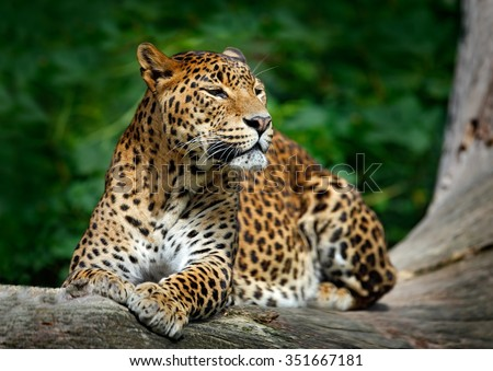 Sri Lankan leopard, Panthera pardus kotiya, Big spotted cat lying on the tree in the nature habitat, Yala national park, Sri Lanka - stock photo