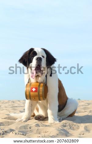 St. Bernard dog as rescue animal with barrel - stock photo
