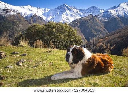 St. Bernard on the mountain - stock photo