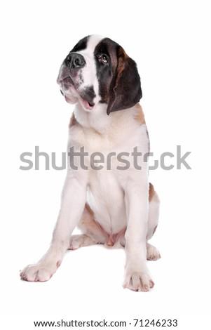 St. Bernard pup - stock photo