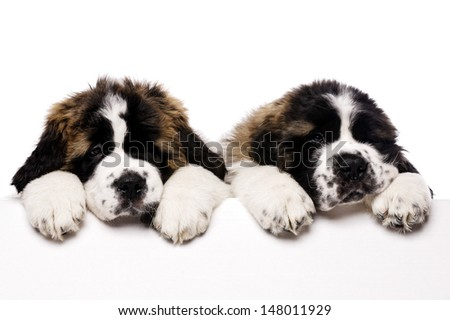 St Bernard puppies looking over a blank sign isolated on a white background - stock photo