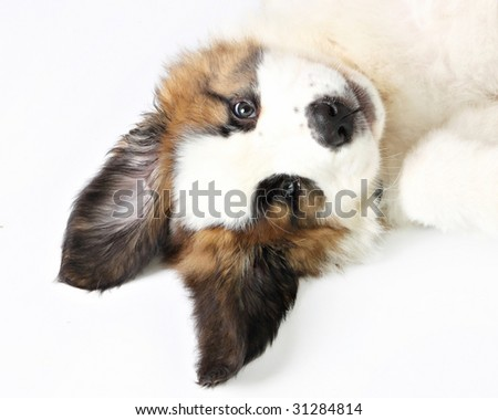 St. Bernard Puppy - stock photo