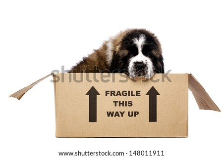 St Bernard puppy sat in a cardboard box isolated on a white background - stock photo