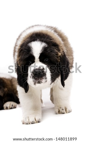 St Bernard puppy walking towards the camera on a white background - stock photo