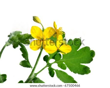 St. John's wort flowering isolated on white - stock photo