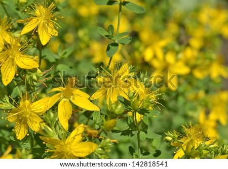 St. John's wort flowers ( Hypericum perforatum)  in summer close up   - stock photo