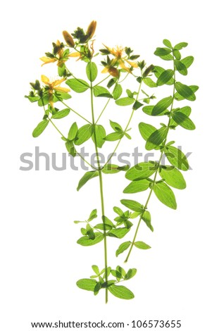 St. John's wort (Hypericum perforatum), flowers and leaves against a white background - stock photo