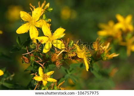 St Johns Wort Flower - stock photo