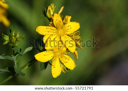 St. Johns Wort Flower - stock photo