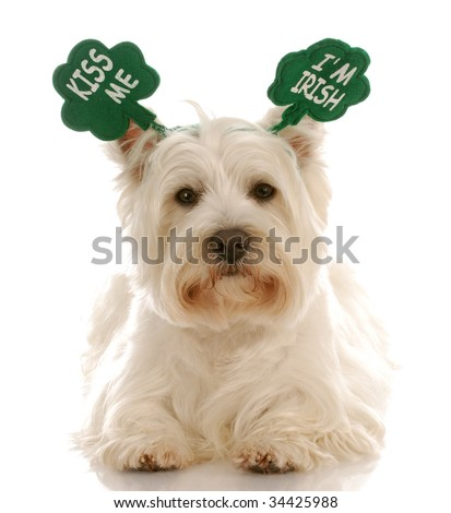 St. Patrick's day dog - west highland white terrier wearing kiss me i'm irish headband - stock photo