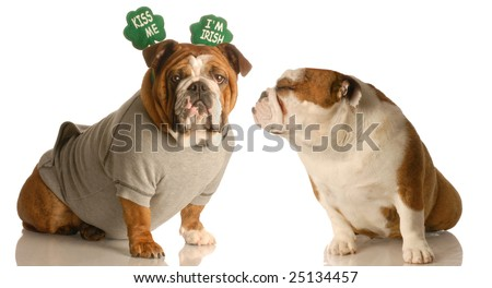 St. Patricks Day bulldogs sharing a little Irish love - stock photo