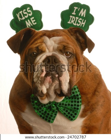 st. patricks day - english bulldog wearing kiss me im irish headband - stock photo