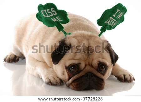 st. patricks day - pug wearing kiss me i'm irish headband - stock photo