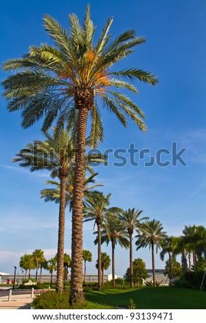 St Petersburg Florida Palm Trees - stock photo