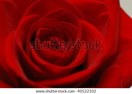 St. Valentine's background of a rose close-up - stock photo