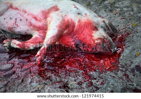 stabbed pig in a bloodbath squirted from it's throat - stock photo