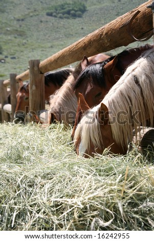 Stable horses in a corral feasting on hay - stock photo