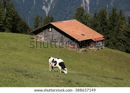 Stable with cow in the alps in the Bernese Oberland, Switzerland - stock photo