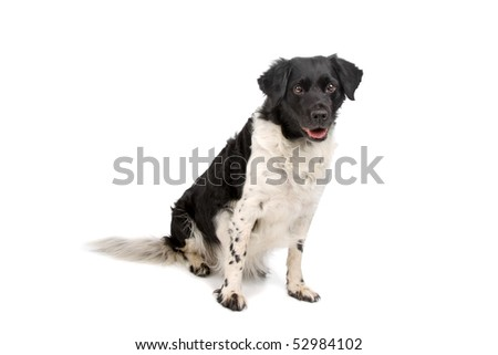 Stabyhoun also known as Frisian Pointer, Frisian Pointing Dog, Stabij or Beike. Nickname,Staby, isolated on a white background